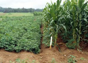Maize-cassava intercropping
