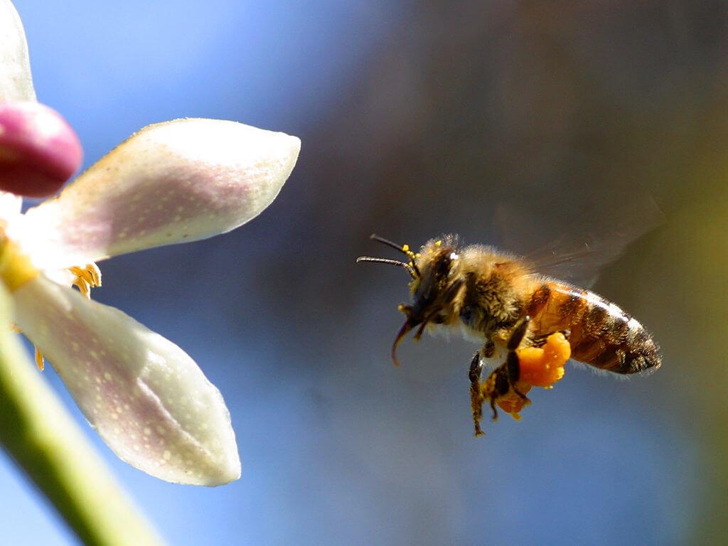 bee with my myer lemon tree
