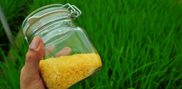 golden rice by IRRI