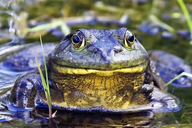 px Bullfrog natures pics