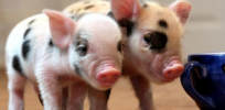 Genetically modified 'micro pigs' to be sold as pets in China