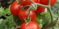 Talking Biotech: History lesson on tomatoes and biotech solution to breeding