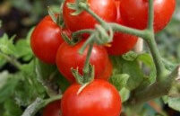 Tomato e