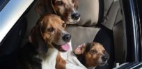 Genetically engineered 'muscley' dogs bred in China