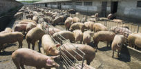 Leftwing defense of industrial agriculture: Best way to protect animal welfare