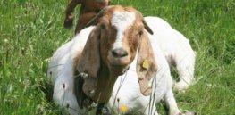 goat jpg