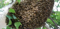 Neonicotinoids may impact individual honeybees different than hives