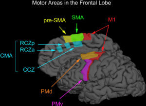 Motor_areas_in_the_frontal_lobe