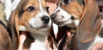 First ever IVF-born puppies hopeful sign for endangered species