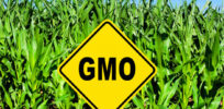 Why there are no long term GMO studies on humans
