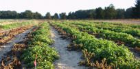 FDA approves GMO potato that resists blight that caused Irish potato famine