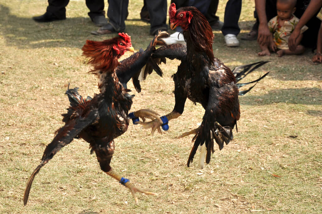 The story of cockfighting