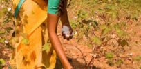 Could home-grown GMOs solve hunger in India?