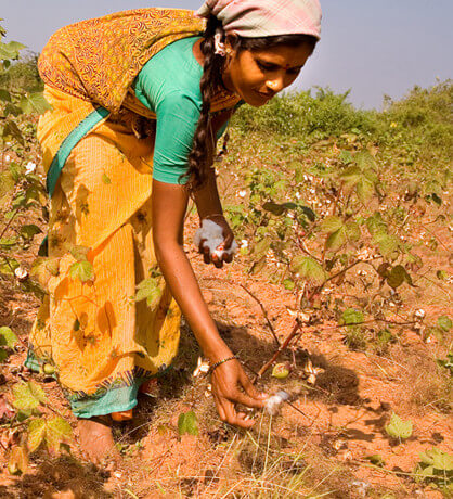 Cotton picking in India e