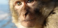 Genetically engineered monkeys model autism, may aid in research