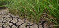 Pamela Ronald reinvents rice: Drought-resistant varieties show progress