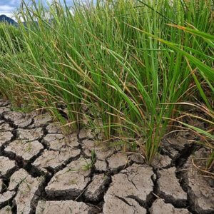 climate change ready drought tolerant