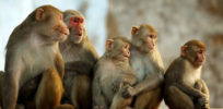 o RHESUS MONKEY facebook