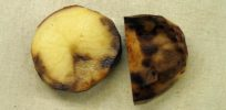potato late blight