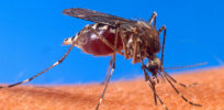 px Aedes aegypti biting human
