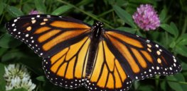 Monarch continued sharp recovery in 2015 casts doubt on claim glyphosate caused decline