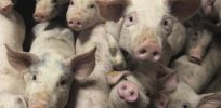 Researchers use gene editing to create pig resistant to incurable porcine disease