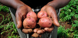 Potatoes from a Kenyan farm