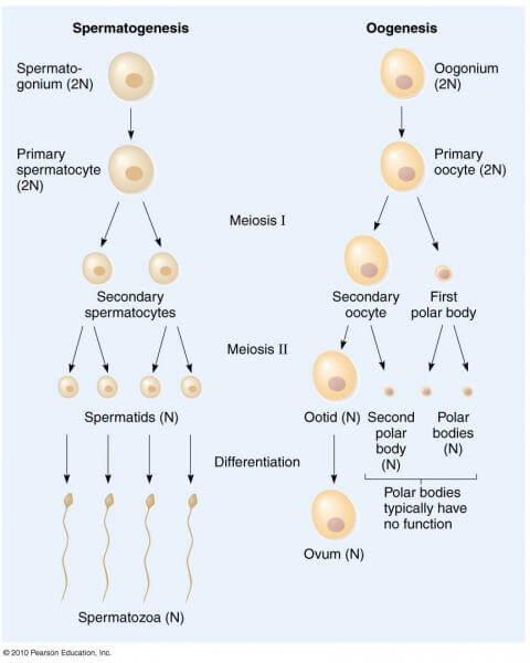 spermatogenesis vs oogenesis Reprod biomed online 2008 apr16(4):523-31 meiotic errors in human  oogenesis and spermatogenesis martin rh(1) author information: (1)university  of.
