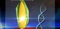 Video: How do scientists make GMOs?