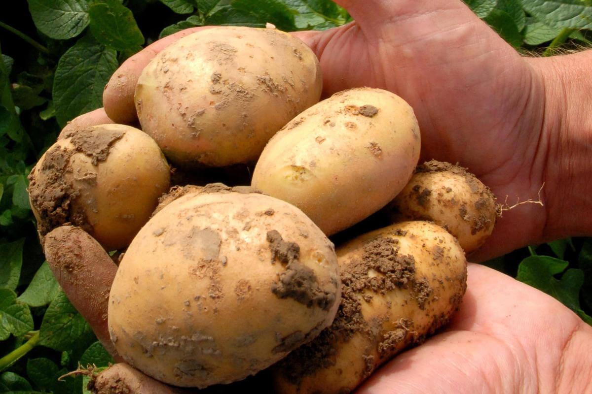 GMOPotatoes