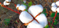 To reduce price of GMO cotton seed, should India regulate royalty fees or promote competition?
