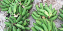 Ugandan scientists develop wilt resistant GMO banana, field trials this year