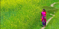 India GMO debate: Mustard poses no health or biodiversity risks