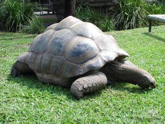 australia-zoo-harriet-the-aldabran-tortoise-brisbane