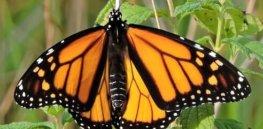 butterfly e