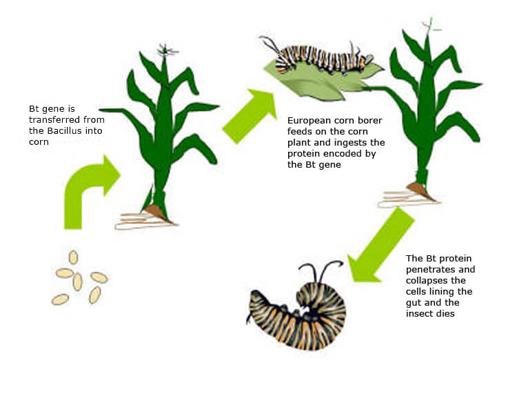 Use And Impact Of Bt Maize Nature
