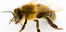 'Beepocalypse'? How US honey bee population is fairing