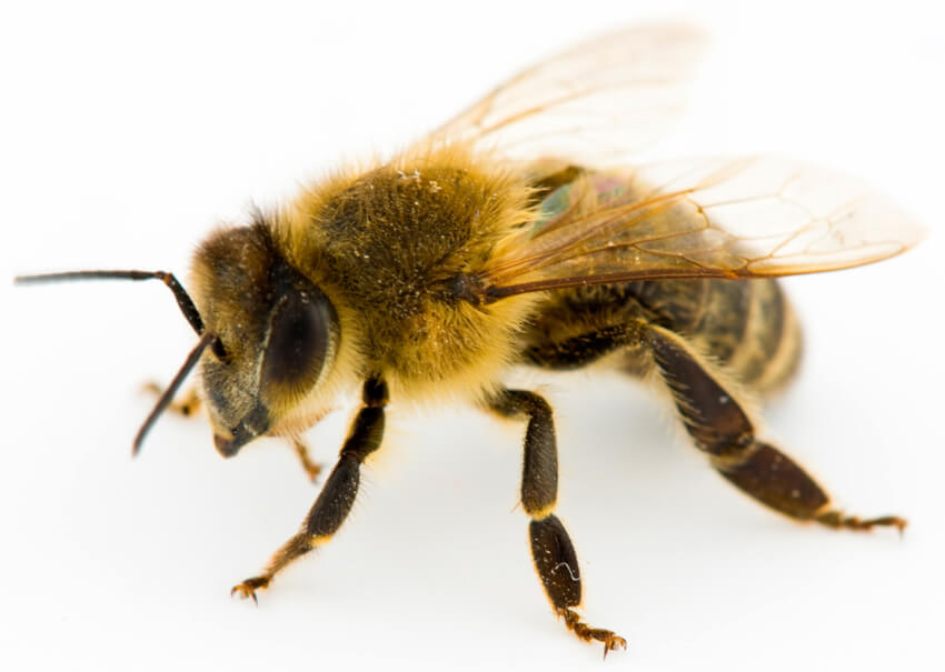 honeybees boston