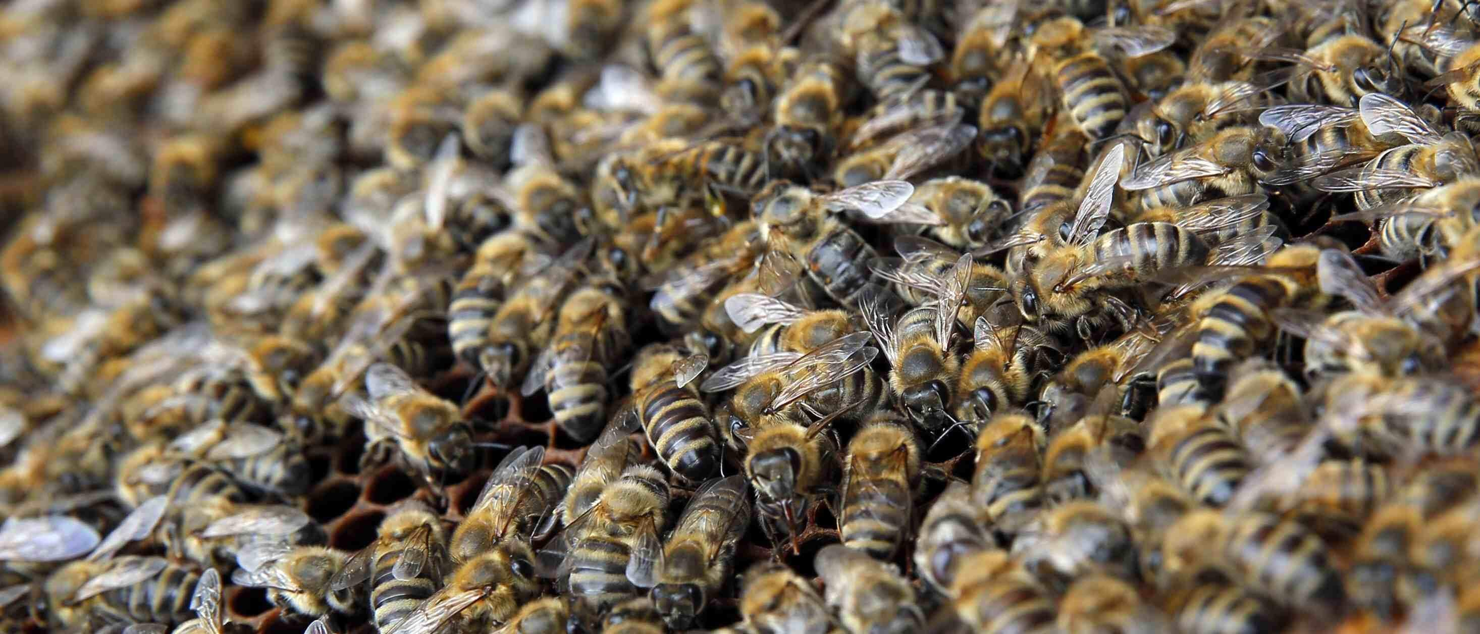 honey bees essay Honey bee research the national honey board (nhb) is committed to finding ways to help beekeepers maintain the health of their honey bees and was among the first to .