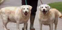 Pudgy Labrador retrievers' genes help humans understand why we are getting fat