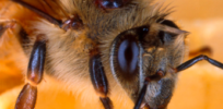 Varroa mites again implicated in bee losses
