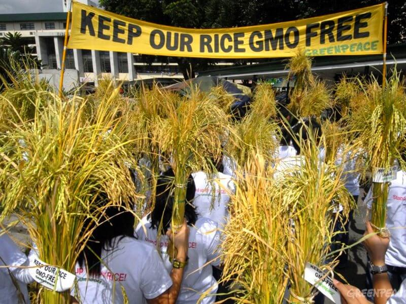 the genetic engineering of rice and its effects What are the effects of genetic golden rice is enhanced with what does the organic label mean and what is its relationship to genetic engineering.