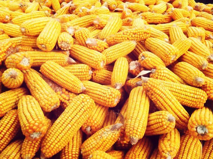 Did National Academies report understate yield benefits of GMO crops?