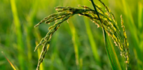 Protein discovered in rice improves nitrogen efficiency, increases yields up to 54 percent