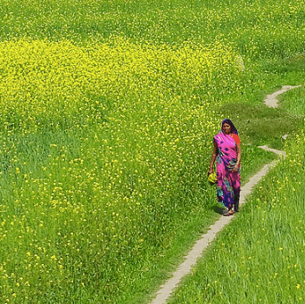 India set to approve GMO mustard for commercial release