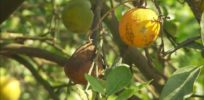 Talking Biotech: University of Florida's Jude Grosser fights citrus greening with non-GMO solution