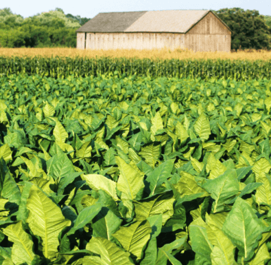 Could tobacco soon fuel jets by tweaking crop's genetics?