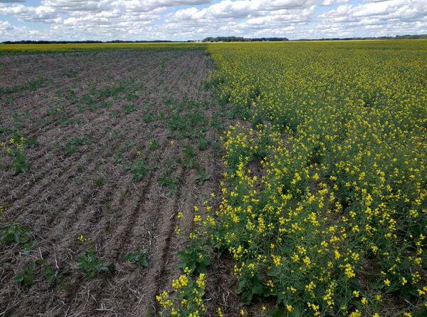 "Neonic seed treateds in canola (right), and untreated (left) . Flea beetle damage."" Photo: Gregory Sekulic, CC BY 2.0"