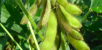 Monsanto explains why new GMO soybeans were released before dicamba formulation approved