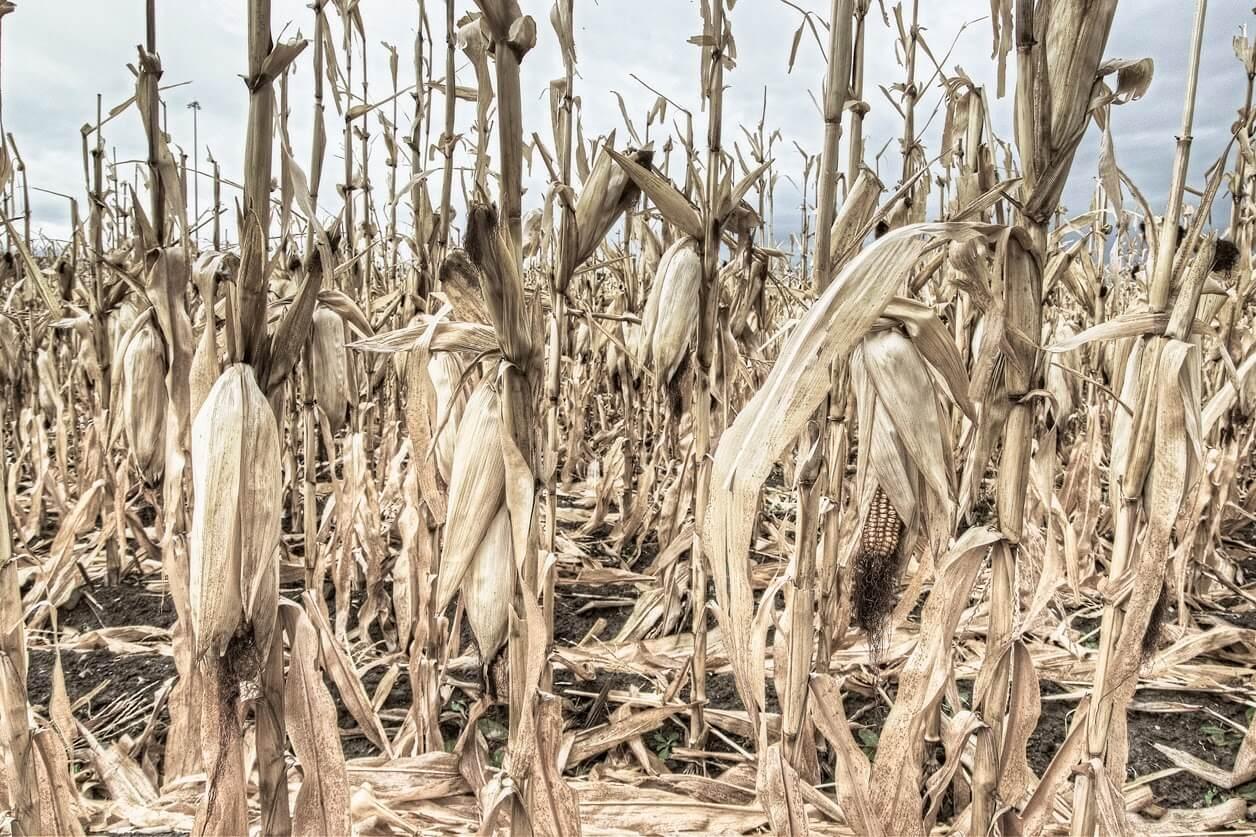 corn dead